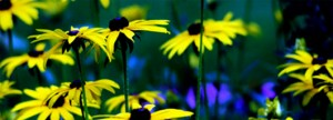 Der Sonnenhut, auch als Echinacea bekannt