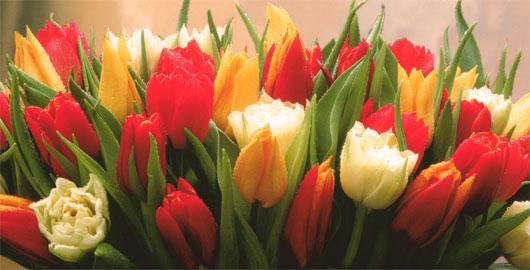 Tulpen zum Geburtstag vom Astroblog Neptunwelten