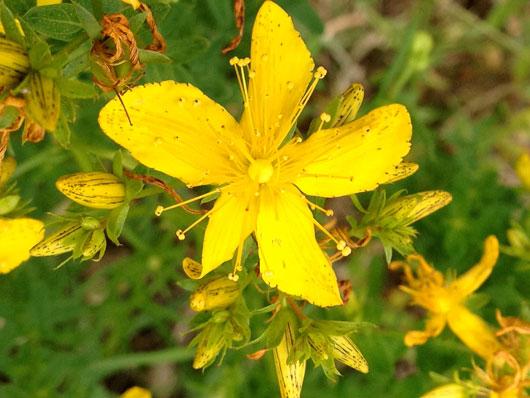 Johanniskraut - Blüte