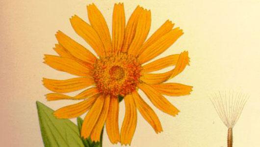 Die Heilpflanze Arnica Montana