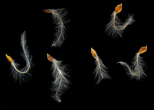 Samenfrüchte der Bachblüte Clematis