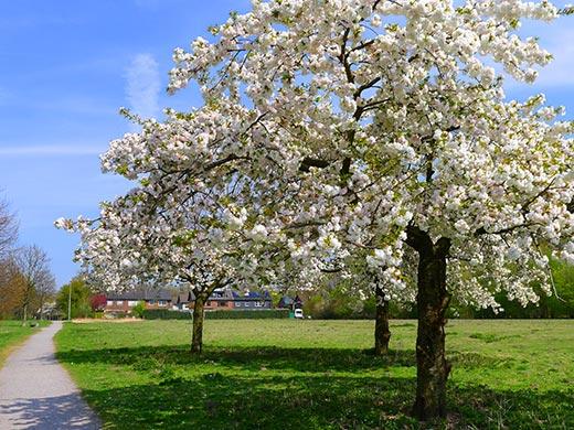 Die Obstbäume blühen